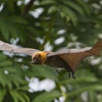 Bats provide the inspiration for future flying robots