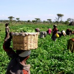 Sustainable intensification could end chronic hunger