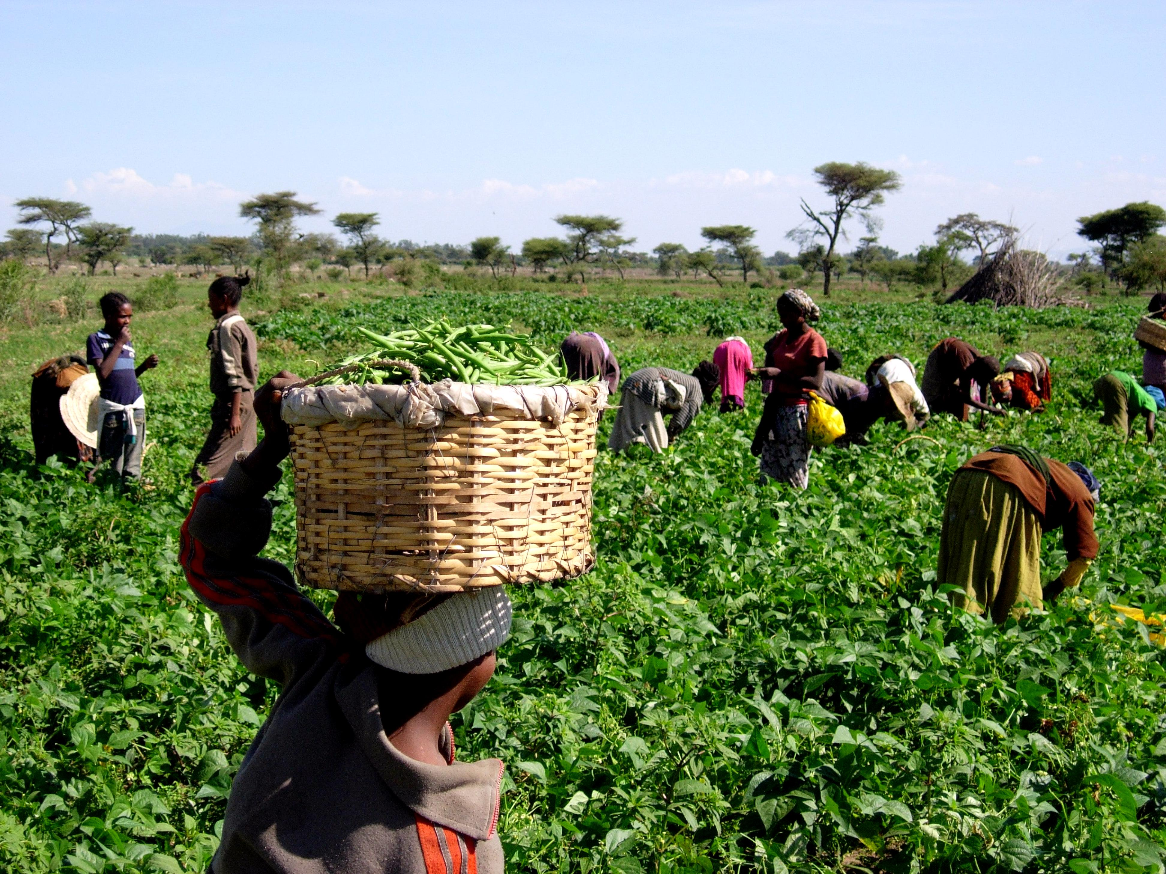 Women and children pick green beans which will be sold to a loca