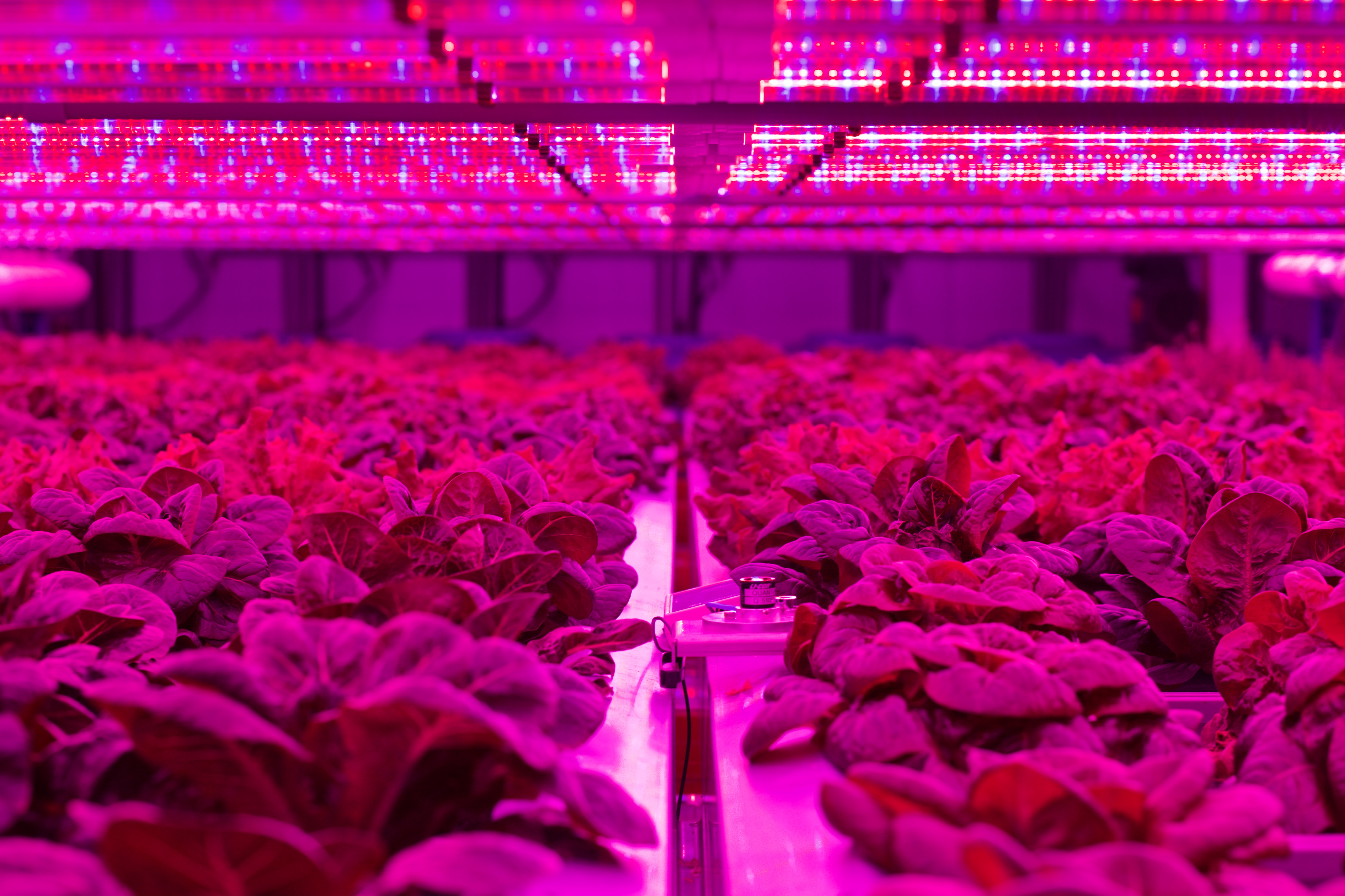 Image of crops growing indoors under LED lighting